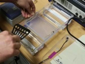 Hier wird nicht gekocht, sondern das Agarose Gel in die Kammer gelegt, mit Puffer bedeckt und mit DNA Proben beladen